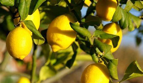 coltivazione dei limoni in vaso coltivazione limone citrus limon citrus limon piante
