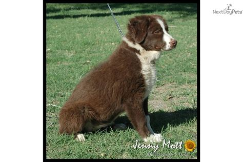 australian shepherd puppies for sale in oklahoma merle australian shepherd puppies for sale in oklahoma breeds picture