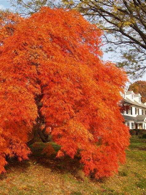 japanese maple brilliant autumn colors on this japanese ma tim ellis flickr