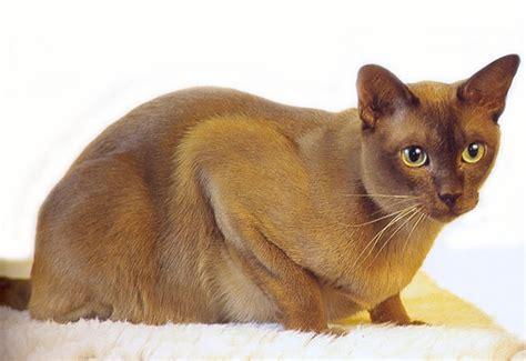 un gato a cat 842635095x gatos de raza burm 233 s