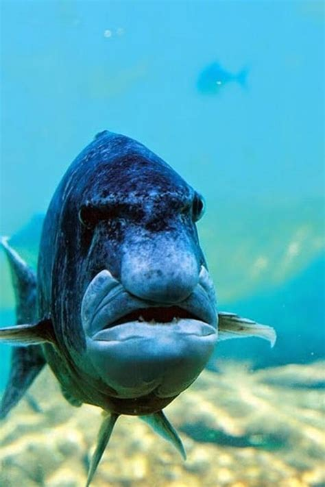 This Fish Looks Like A This Fish Looks Like A Grumpy I Am Bored