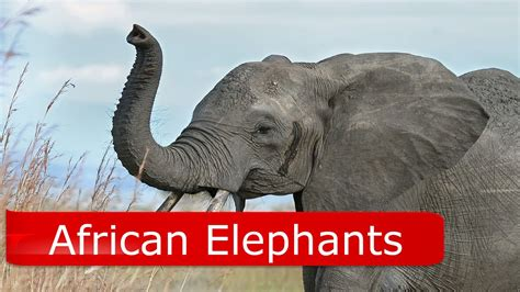 8 Facts On Elephants by Asian Vs Elephant Facts Best Elephant 2017