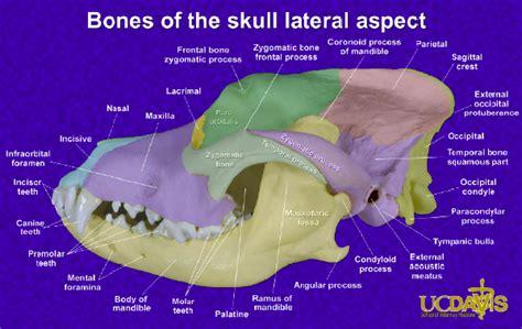 bone setter definition skull anatomy marked skulls veterinary medicine vet 404
