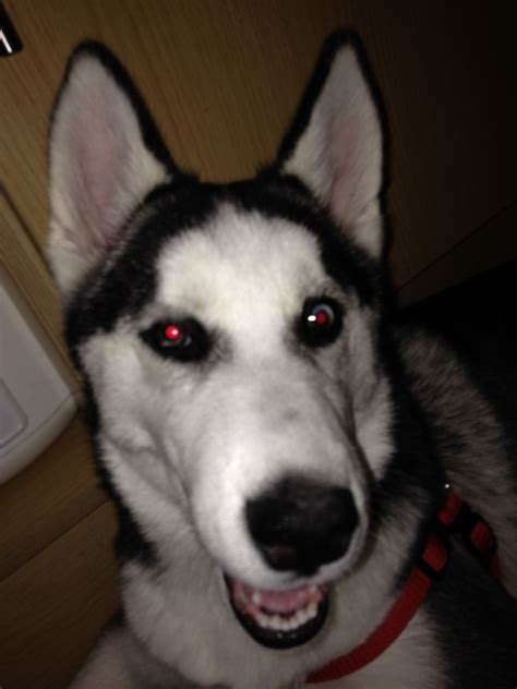 places to sell puppies for free siberian husky for sale northton northtonshire pets4homes news