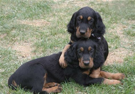 gordon settee gordon setter puppies for sale akc puppyfinder
