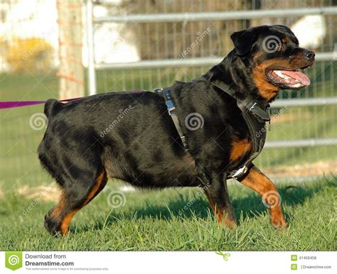 protection trained rottweilers dogs 141 stock photo image 41459458