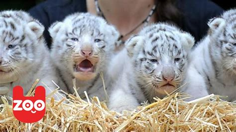 cute white cute white bengal tiger cubs www imgkid com the image