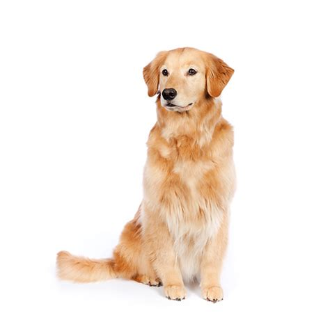 golden retriever sitting golden retriever clip car interior design