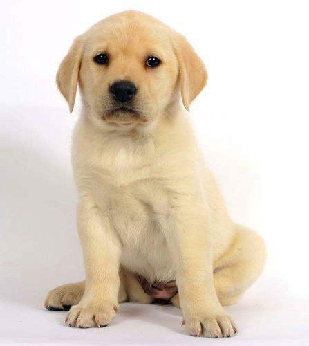 golden labrador puppies while still a puppy can you distinguish a golden retriever from a labrador quora