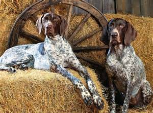 Bluetick Coonhound - Dog Breed Standards