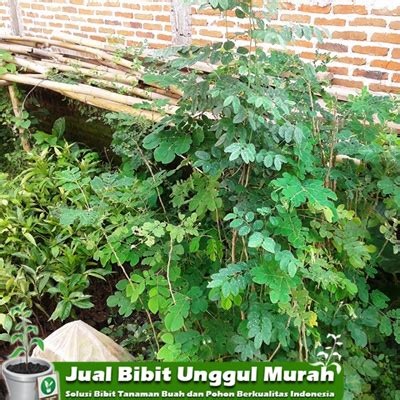 Jual Bibit Kayu Cendana jual bibit pohon kayu trembesi agro bibit id