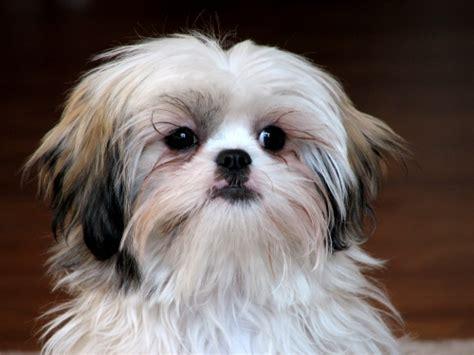 shih tzu conjunctivitis shih tzu hondenrassen en eigenschappen