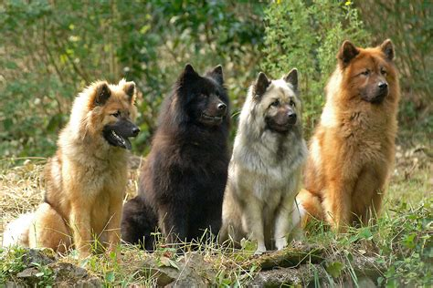 eurasier puppies сolorful eurasier dogs photo and wallpaper beautiful сolorful eurasier dogs pictures