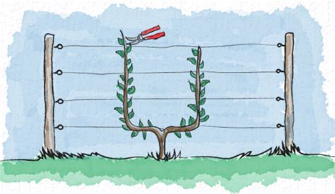 u cordon fruit trees types of espalier
