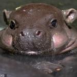 Baby Hippo Meme - baby hippo imgflip