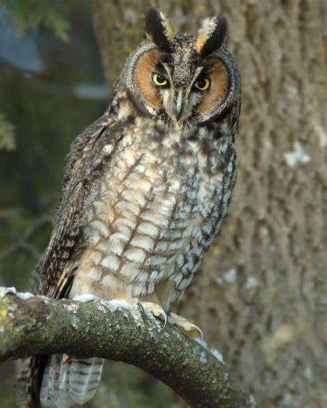 L Owl by Eared Owl Audubon Field Guide
