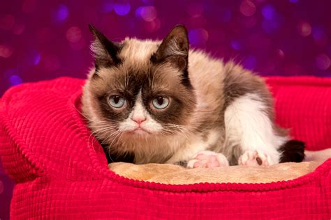 grumpy cat joins cats on grumpy cat joins cast of broadway s cats