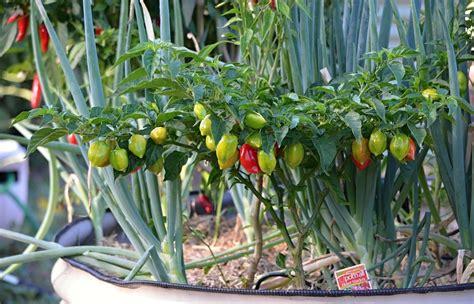 come coltivare il peperoncino in vaso coltivare il peperoncino in vaso di ital agro