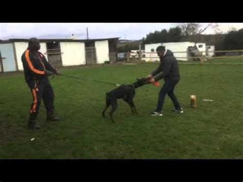 don 12 month old green doberman puppy first time out