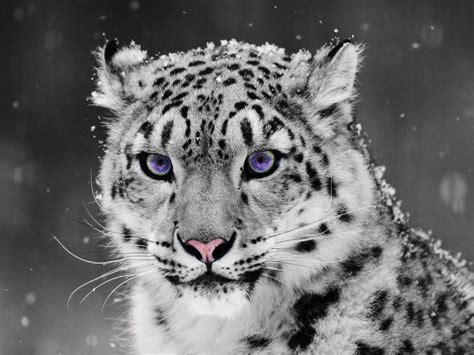 imagenes de jaguar blanco snow leopard coloreyezed by thepain321 on deviantart