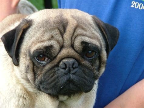 are pugs and bulldogs related pugs white husky pug breeds picture