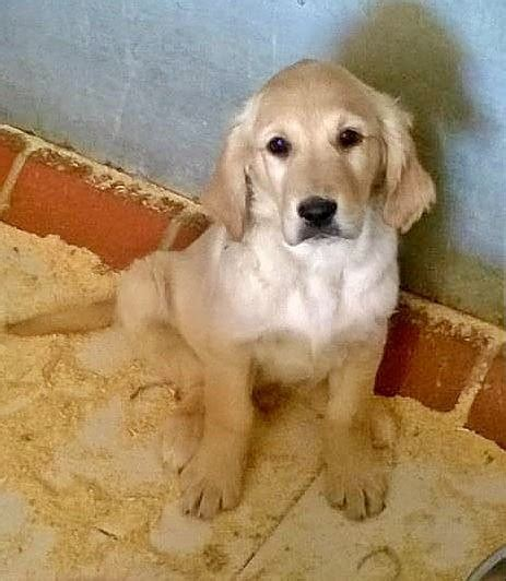 golden retriever puppies for sale in kent golden retriever puppies sandwich kent pets4homes