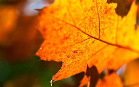 autumn orange leaves hd desktop wallpapers  hd