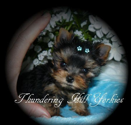 yorkie breeders in bc 17 ideas about yorkie puppies for sale on yorkie puppies teacup yorkie