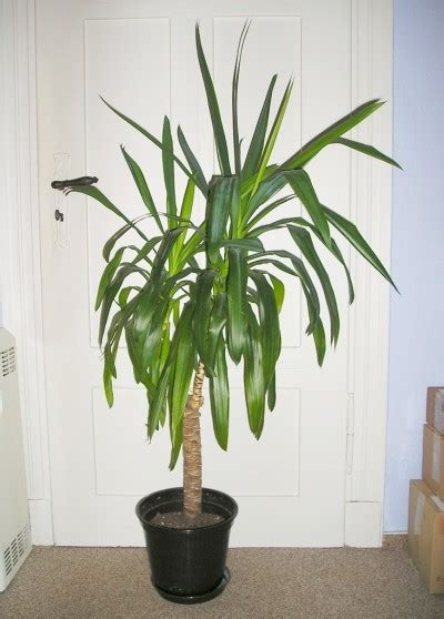 potted yucca plants how to care for a yucca houseplant