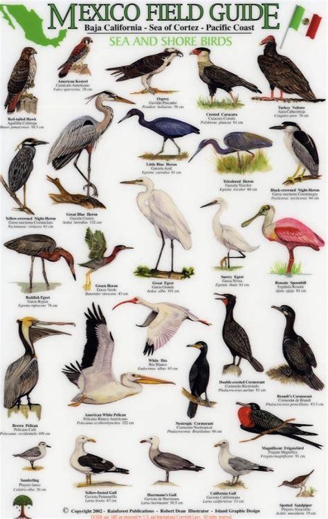field guide california birds information mexico field guides baja california sea of cortez pacific coast sea and shore birds