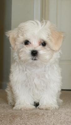 shih tzu maltese bichon mix 1000 ideas about maltese poodle on dogs for adoption maltipoo and