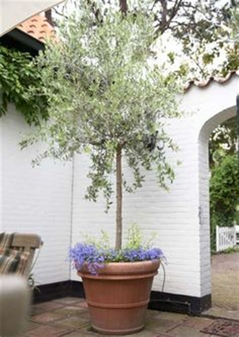 mission olive tree hardy in zone 7 and grow well in the