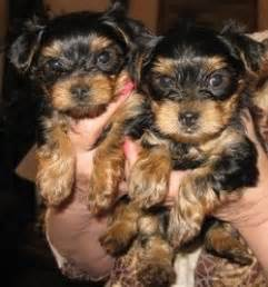 teacup yorkie breeders in arkansas adorable abigail precious micro teacup maltese available arkadelphia ar
