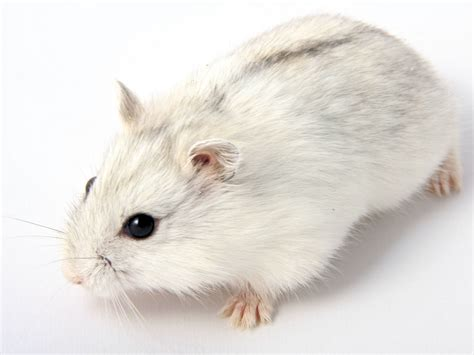 tips    care   pet djungarian hamster