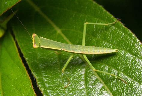 praying mantis for garden pest garden mantis orthodera ministralis