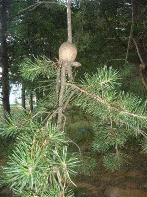 Brain Detox Pine Needle by Pine Brain Canker Walter Reeves The Gardener