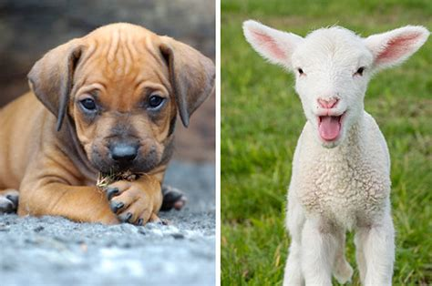 Animal Edition would you rather baby animal edition