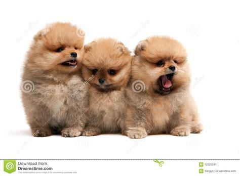 pomeranian spitz puppies three pomeranian spitz puppies stock image image 12326341