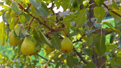 moving fruit trees tomato plant with flowers stock footage 605914