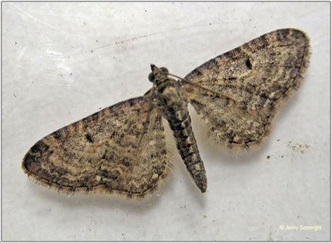 grey pug moth moths grey pug eupithecia subfuscata
