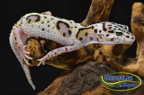 leopard gecko care sheet reptiles by mack