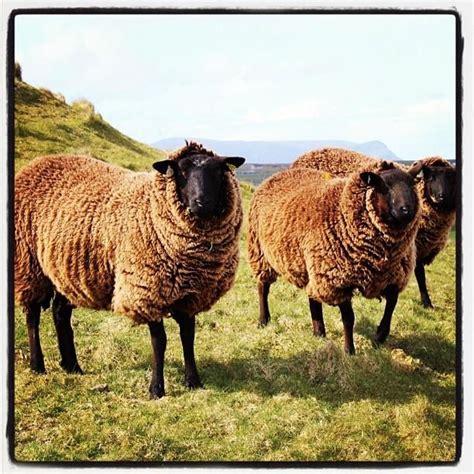 856 best scotland animals images on highlands