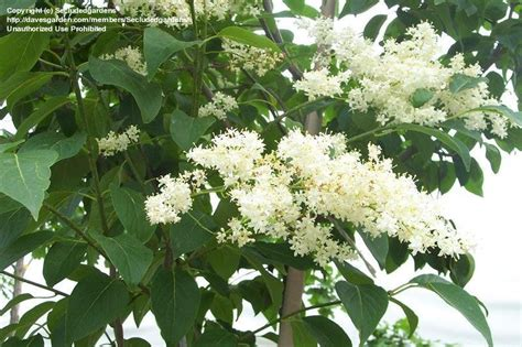 lilac tree information plantfiles pictures japanese tree lilac syringa