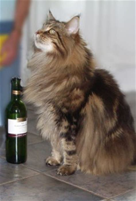 About Maine Coons   Majesticoon
