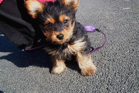 how much is a yorkie puppy american eskimo shetland sheepdog photo gallery american eskimo m5x breeds picture