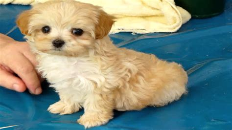 shih tzu cross spaniel this is is a maltese shih tzu cross cocker spaniel