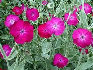 coquelourde des jardins lychnis coronaria culture