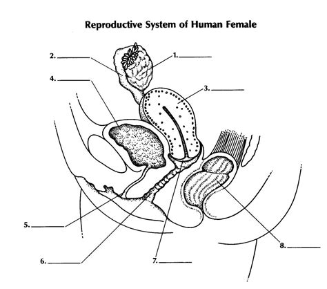 diagram reproductive system diagrams of reproductive system reproductive