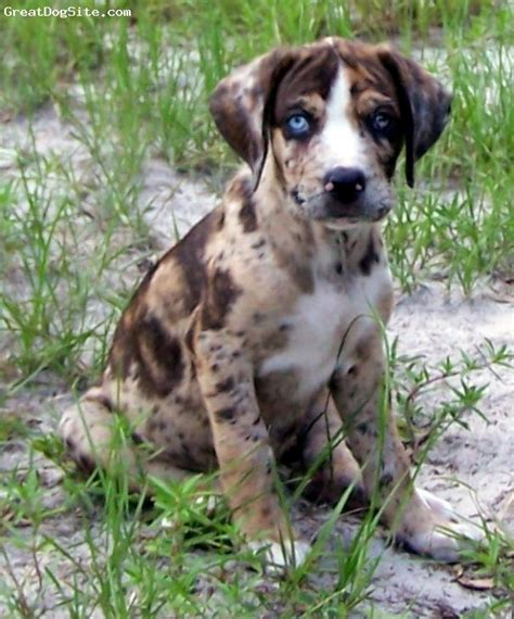 catahoula leopard puppy leopard leopards and dogs on
