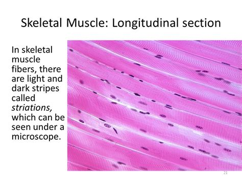 skeletal muscle longitudinal section muscles ppt download